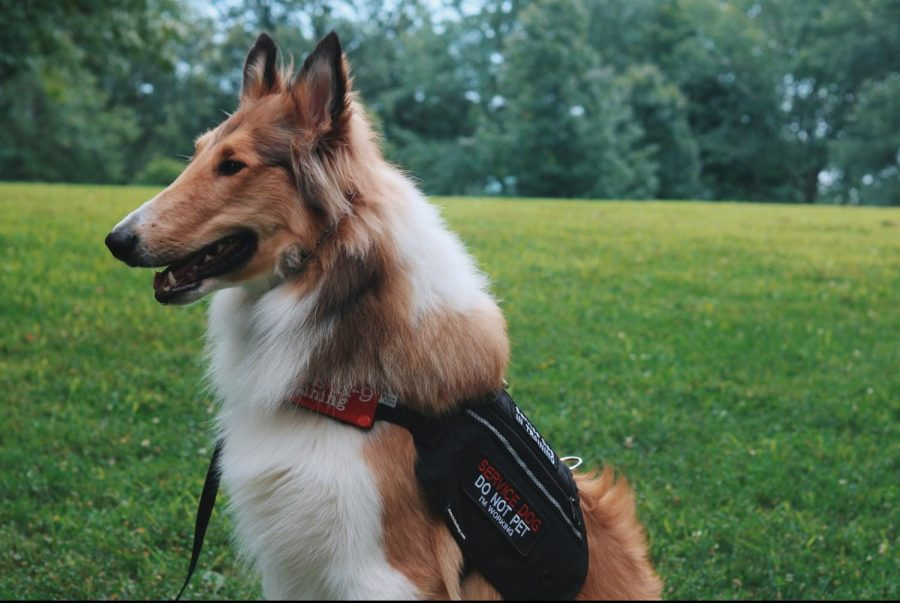 Levi%2C+a+9-month-old+Rough+Collie%2C+wears+his+service+vest%2C+signaling+he+is+on-duty.