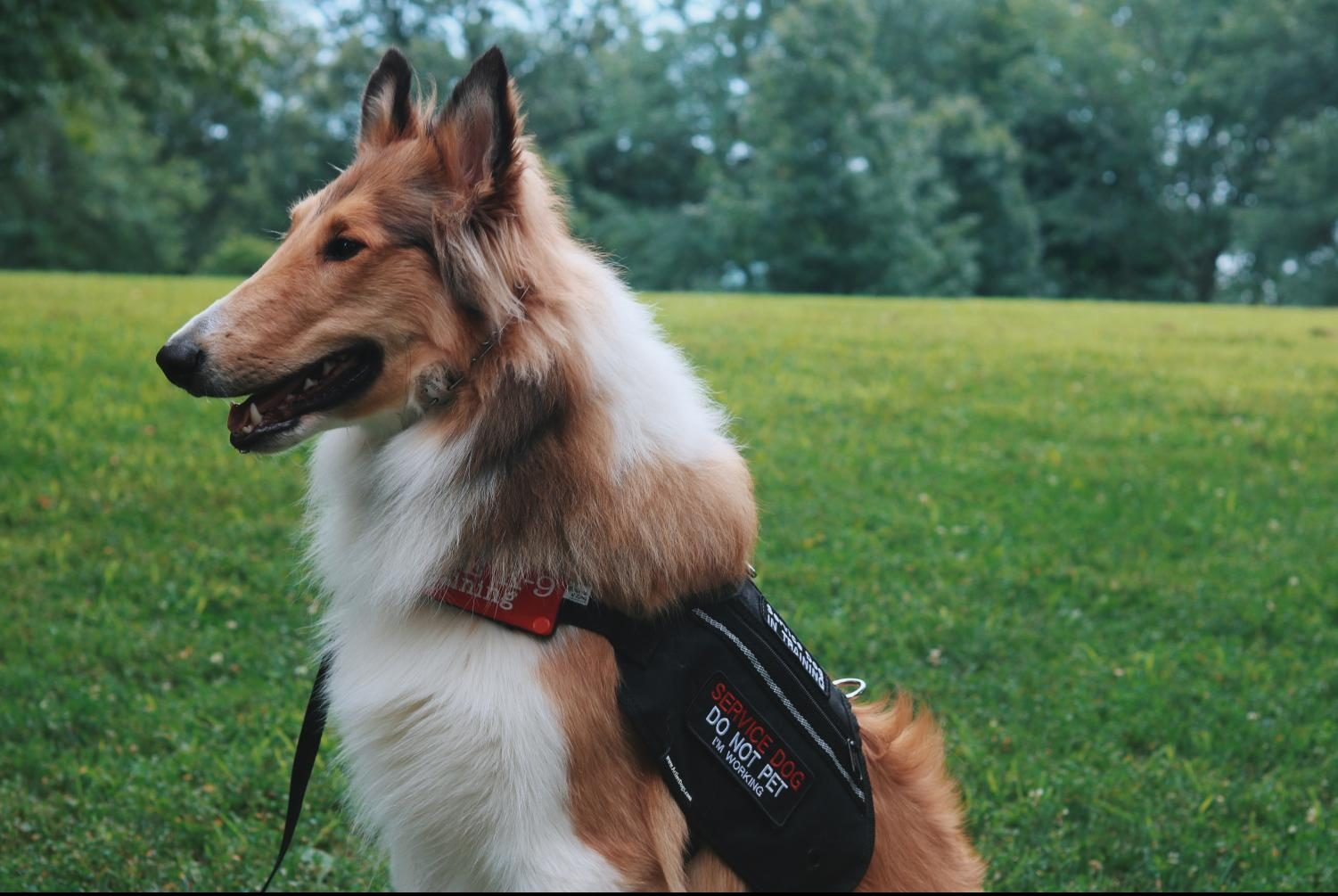Levi, a 9-month-old Rough Collie, wears his service vest, signaling he is on-duty.
