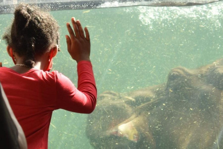 A little girl watches as a hippopotamus passes by.
